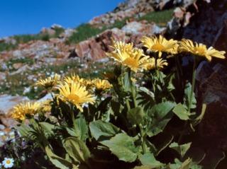 Doronicum grandiflorum en altitude