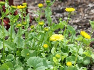 Doronicum orientale 'Goldcut'
