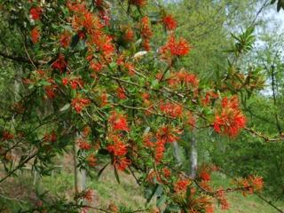 Embothrium coccineum, arbre de feu du Chili