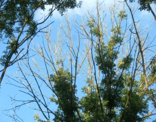 Frêne atteint de chalarose