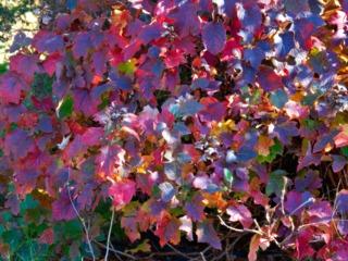 Hydrangea quercifolia, début novembre