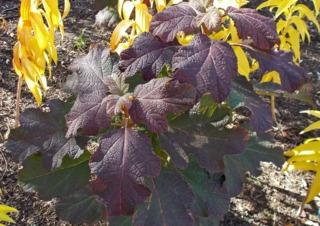 Hydrangea quercifolia 'Snowflake' en octobre