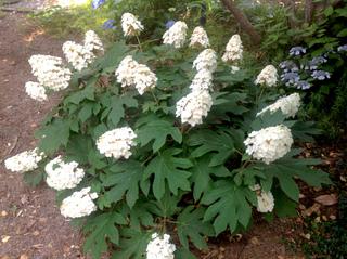 Hydrangea quercifolia 'Snowqueen' en juin