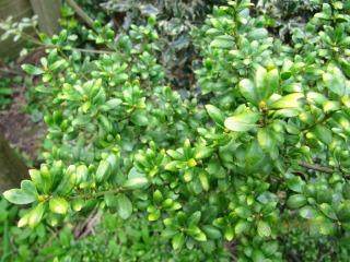 comment planter ilex crenata