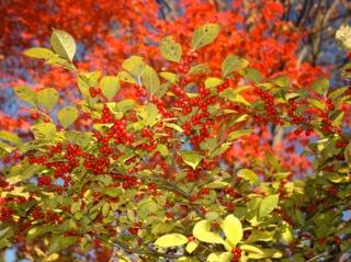 Ilex serrata avant la chute des feuilles