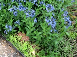 Leptinella squalida et Amsonia 'Blue Ice'