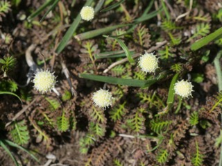 Leptinella squalida : fleurs