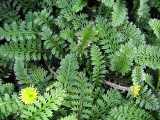 Leptinella : plantation, culture, entretien