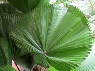 Licuala orbicularis - Palmier cuillère