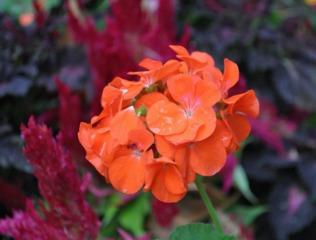 Pelargonium 'Maverick Orange'