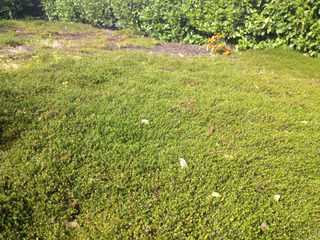 Muehlenbeckia axillaris en couvre-sol