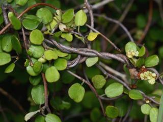 Muehlenbeckia complexa : floraison