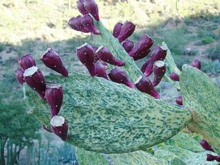 Opuntia ficus-indica variegata