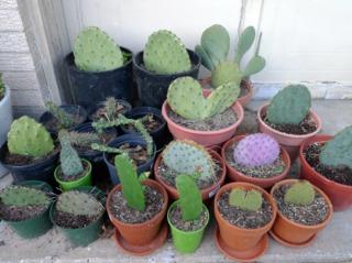 Collection de différentes espèces d'Opuntia