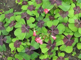 Oxalis deppei, faux trèfle à 4 feuilles : culture et entretien