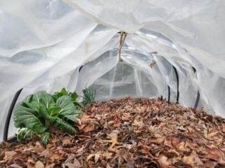 Paillage du potager avec des feuilles mortes