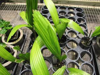Jeunes plants de Licuala grandis