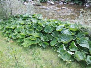 Pétasite (Petasites hybridus) au bord d'un cours d'eau