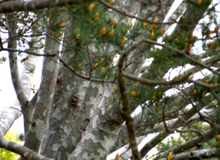 Pinus bungeana