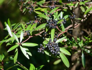 Poivre de Tasmanie, Tasmannia lanceolata : plantation et culture