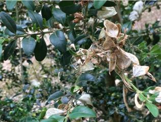 Parasites et maladies du buis