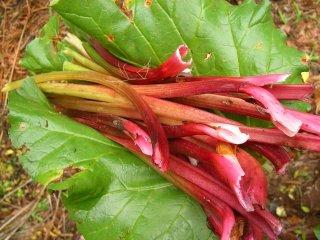 Récolte de rhubarbe