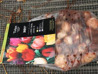Planter des tulipes : quand, comment, dans quel sol