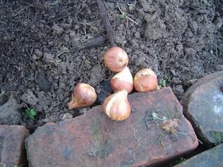 Planter des tulipes : quand, dans quel sol