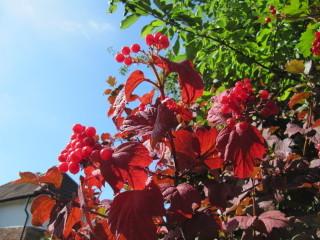 Viburnum opulus en automne