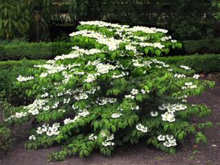 Viburnum plicatum, viorne de Chine : plantation, culture, entretien