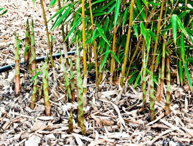 Bambous non envahissants : les espèces non traçantes