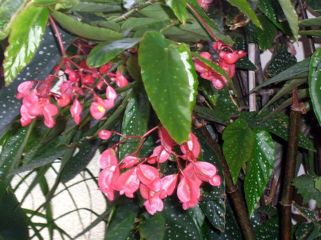 Tamaya b gonia bambou begonia maculata culture et for Ou acheter plante interieur