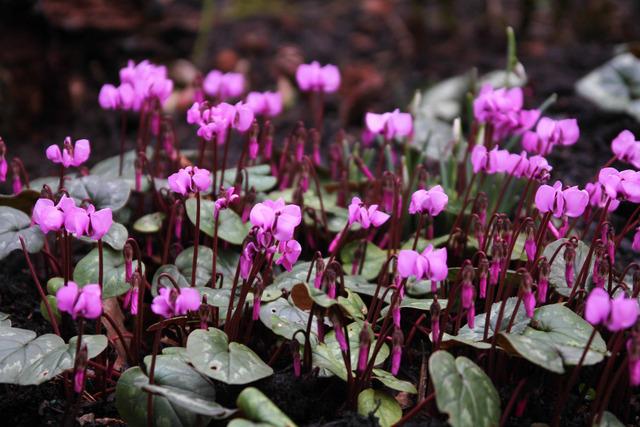 Cyclamen coum (Bulbes de printemps : sortez des sentiers battus !)