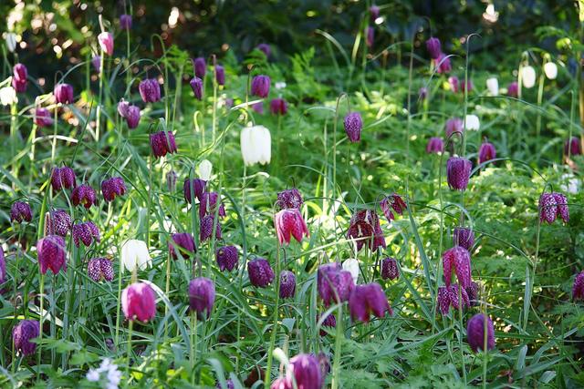 Fritillaria meleagris (Bulbes de printemps : sortez des sentiers battus !)