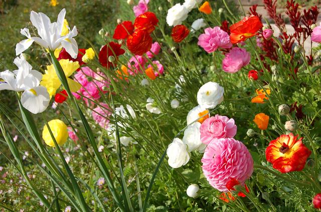 Renoncules et narcisses (Bulbes de printemps : sortez des sentiers battus !)