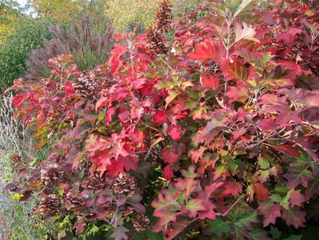 Hortensias à feuillage d'automne : pour leurs fleurs, puis leurs feuilles !