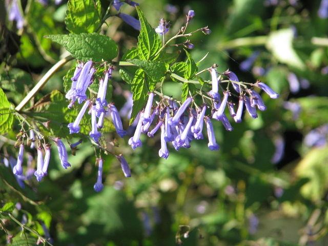 Isodon : semis, culture et entretien