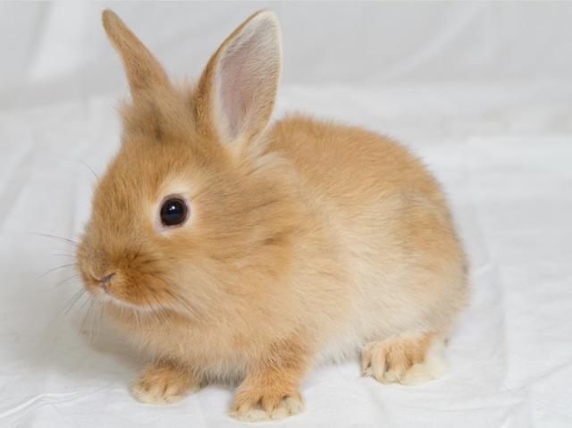 Connu Le lapin nain : alimentation, mode de vie, soins JO08