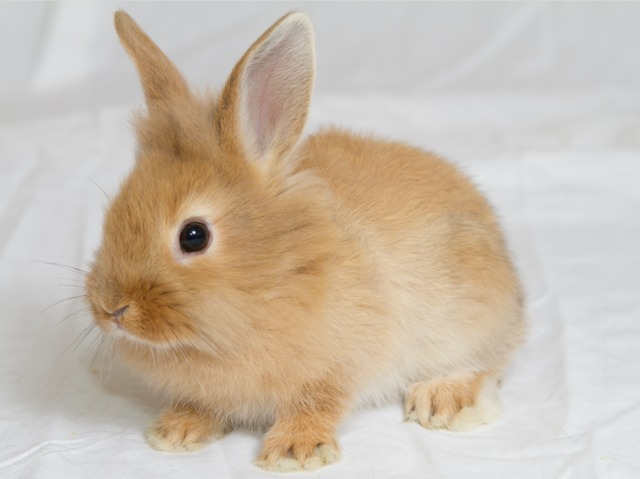 Le lapin nain : alimentation, mode de vie, soins