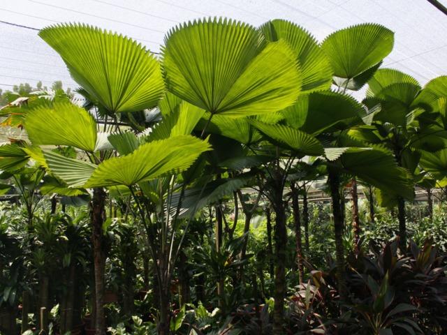 Palmier cuillère, Licuala : culture, entretien