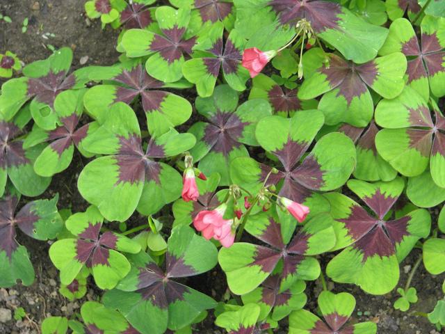 Oxalis deppei faux tr fle 4 feuilles culture et entretien for Chaine de coeur plante entretien
