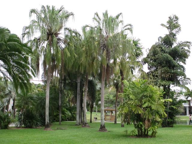 Palmier cuill re licuala culture entretien for Entretien palmier exterieur
