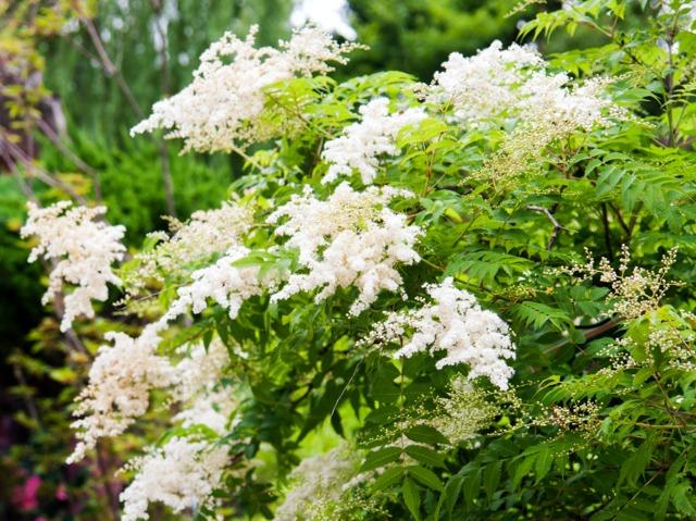 Fausse spirée à feuilles de sorbier, Sorbaria sorbifolia : culture