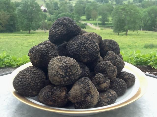 Truffes et arbres truffiers