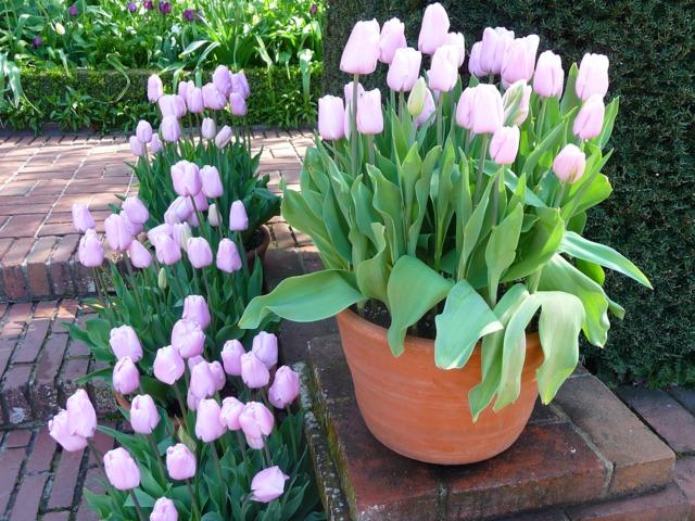 ou planter des tulipes