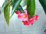 Tamaya, bégonia bambou, Begonia maculata
