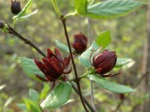 Calycanthus floridus, arbre aux anémones