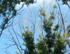 La chalarose du frêne, une menace pour nos forêts