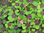 Oxalis deppei, faux trèfle à 4 feuilles