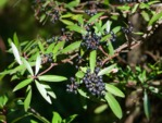 Poivre de Tasmanie, Tasmannia lanceolata